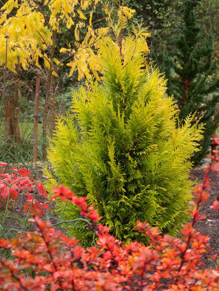 Forever Goldie Arborvitae Trees For Sale