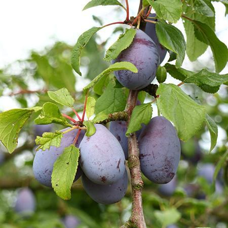French Prune Trees For Sale Fastgrowingtrees Com