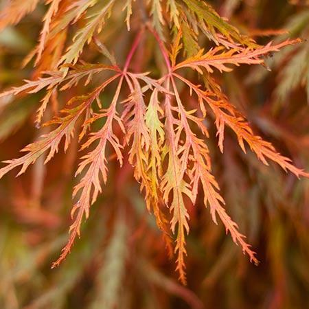 Germaine's Gyration Japanese Maple