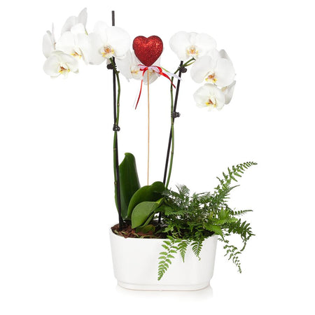 Gianna White Orchid and Fern Gift Plant