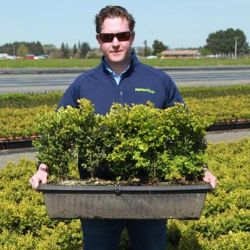 InstantHedge - Green Mountain Boxwood