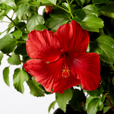 First to Arrive™ Hollywood® Hibiscus