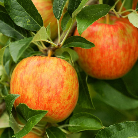 Honeycrisp™ Apple Tree