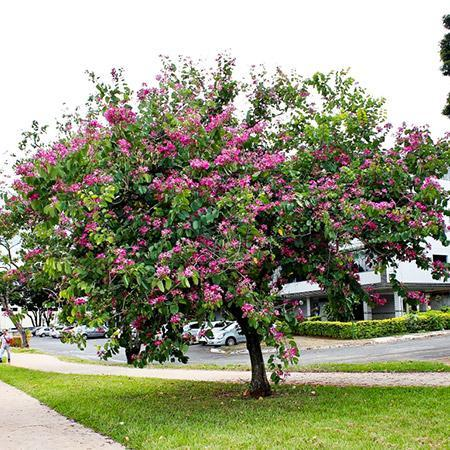 Hong Kong Orchid Tree
