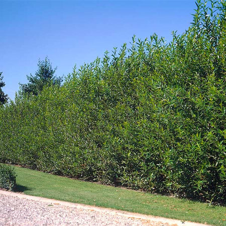 Willow Hybrid Tree