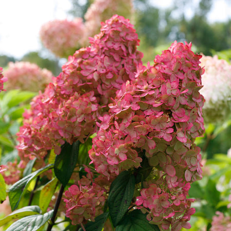Fire Light® Hydrangea Tree
