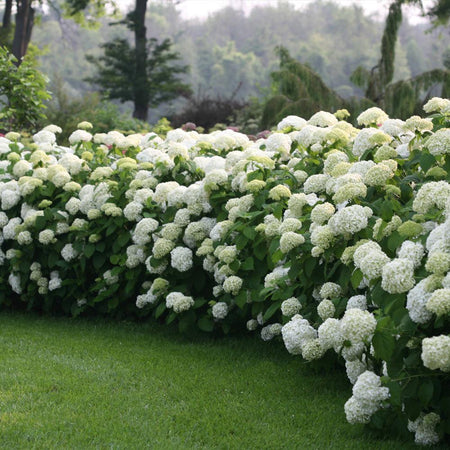 Incrediball® Hydrangea Shrub