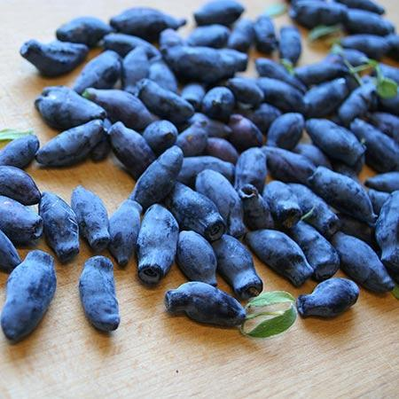 Indigo Treat Haskap (Honeyberry)