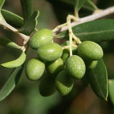 Italian Olive Trees For Sale Fastgrowingtrees Com