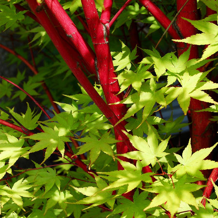Coral Bark Japanese Maple Tree