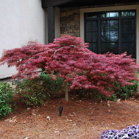 Red Dragon Japanese Maple Tree