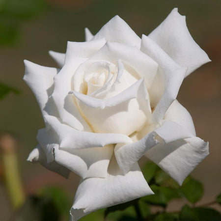 John F. Kennedy Hybrid Tea Rose Shrub