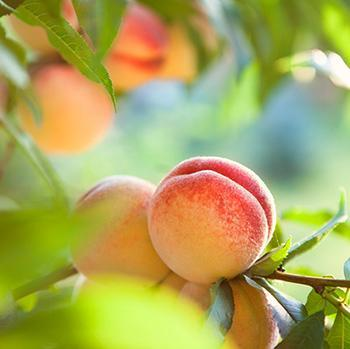 Kader Peach Tree