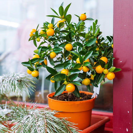 Kishu Mandarin Tree (Seedless)
