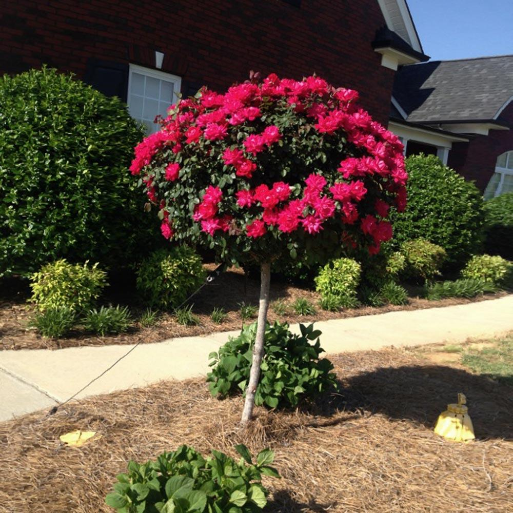 Red Knock Out Rose Trees For Sale Fastgrowingtrees Com