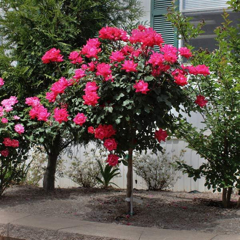Knock Out® Rose Tree