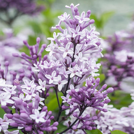 Korean Lilac Tree