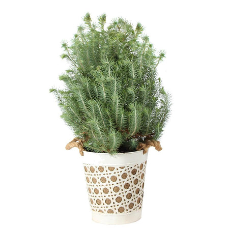 Italian Stone Pine Tree in Decorative Pot