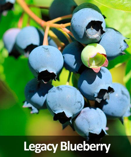 3-in-1 Blueberry Bush (Northern Highbush)