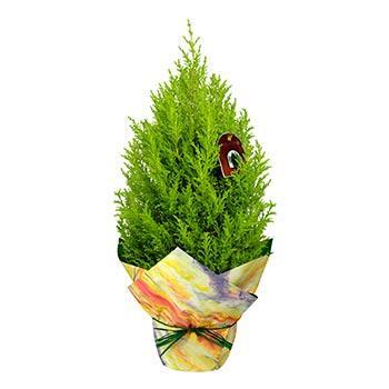Lemon Crest Cypress Gift
