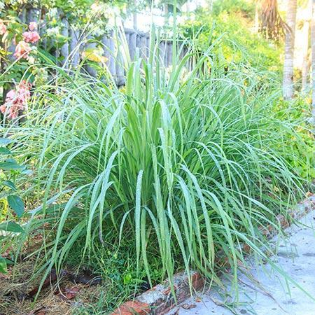 Lemon Grass Plant (Cymbopogon citratus)