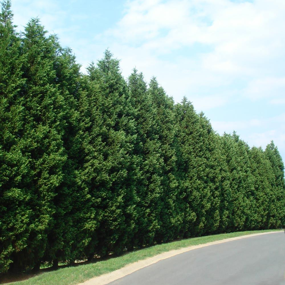 Leyland Cypress Trees For Sale Fastgrowingtrees Com