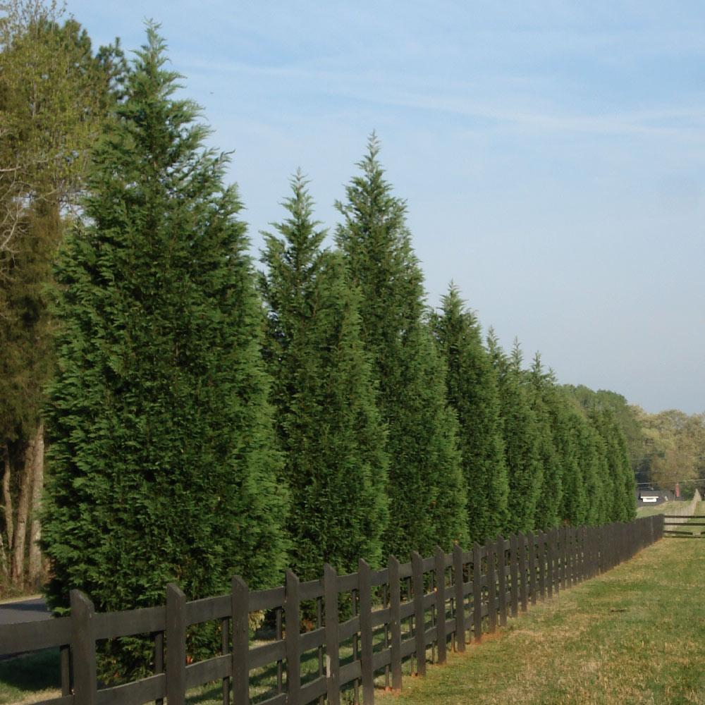 Leyland Cypress Tree