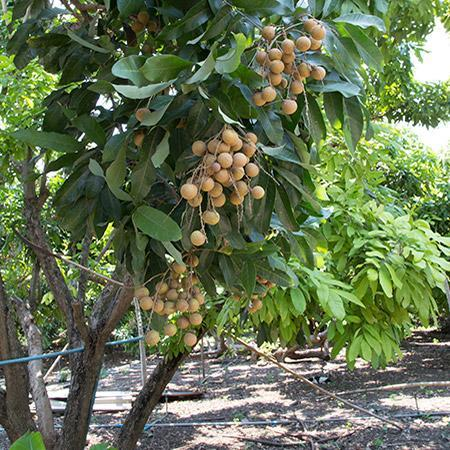 Longan Trees for Sale – FastGrowingTrees com
