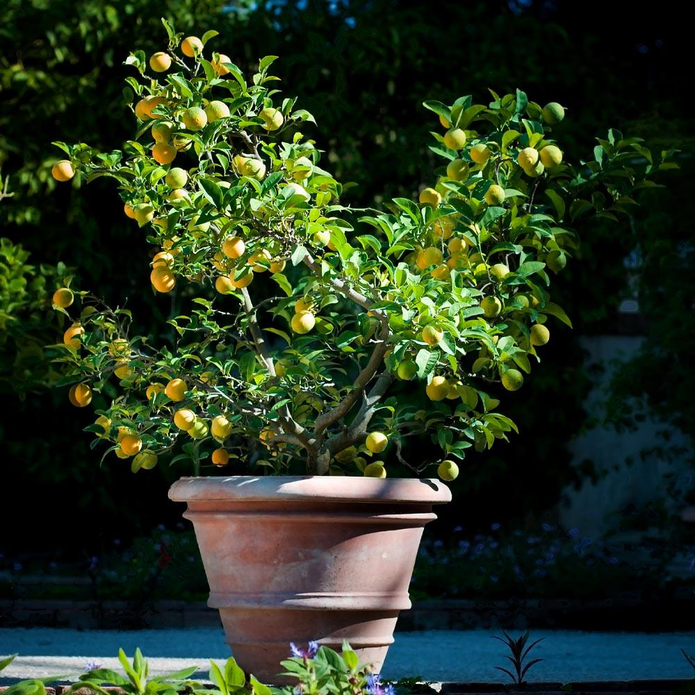 Meyer Lemon Bushes For Sale Fastgrowingtrees Com