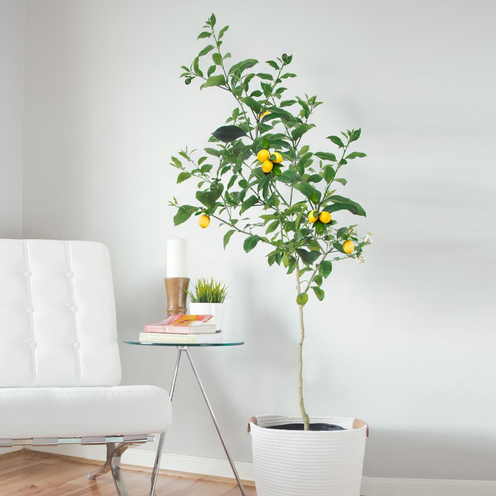 Meyer Lemon Trees For Sale Fastgrowingtrees Com