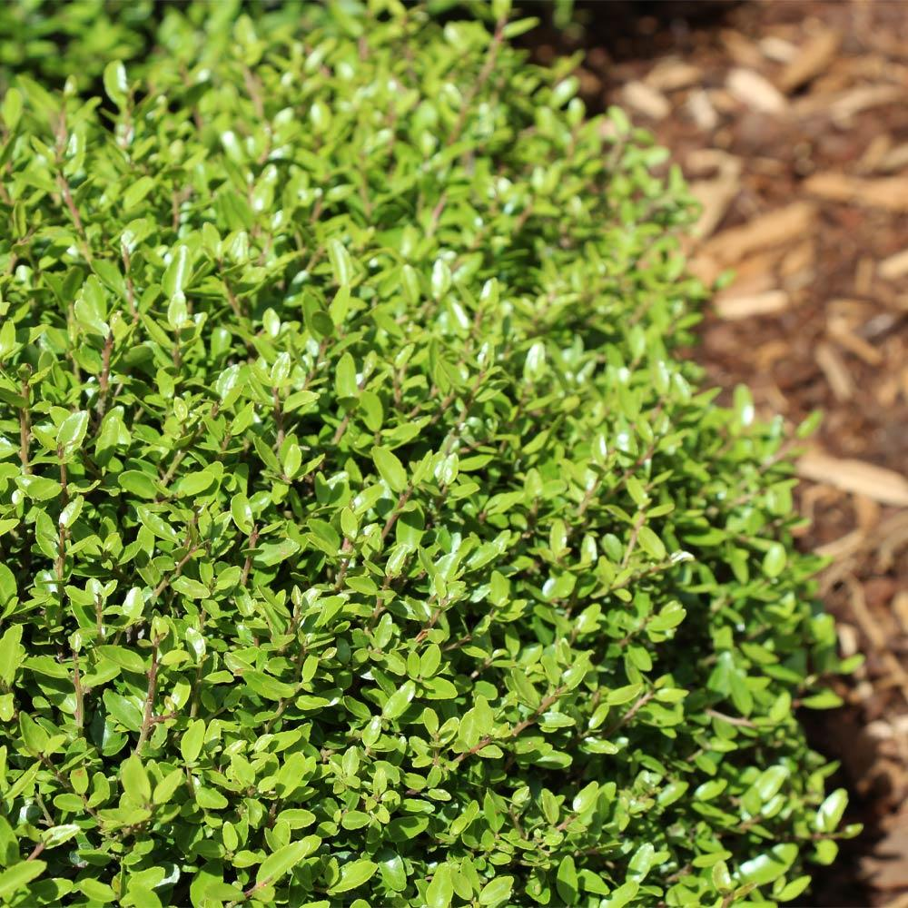 Micron® Holly Shrub