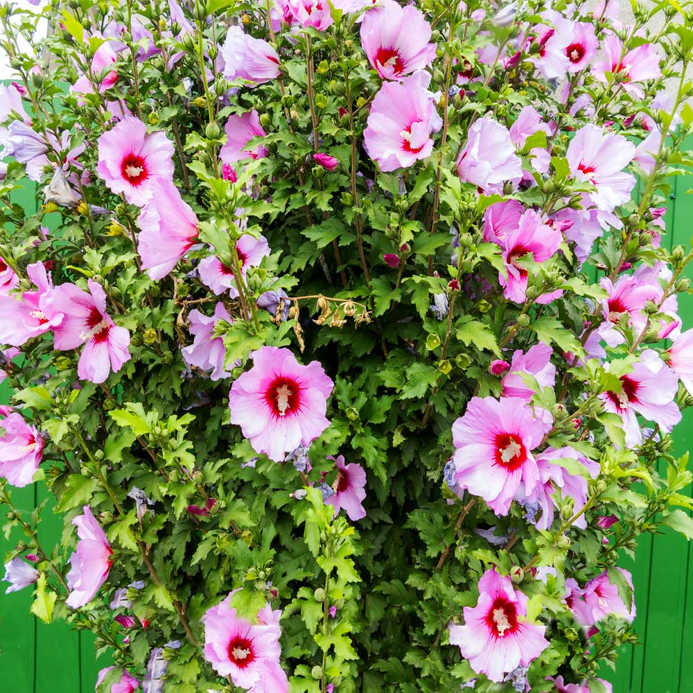 Minerva Rose of Sharon Althea Shrub