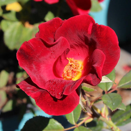 Miracle on the Hudson™ Rose