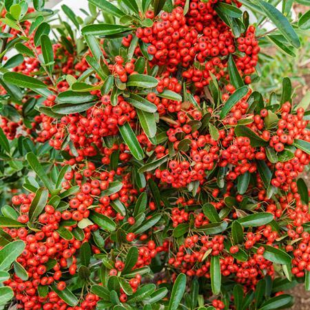 Mohave Pyracantha (Firethorn) Shrub