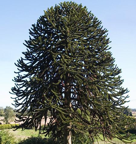 Monkey Puzzle Trees For Sale Fastgrowingtrees Com