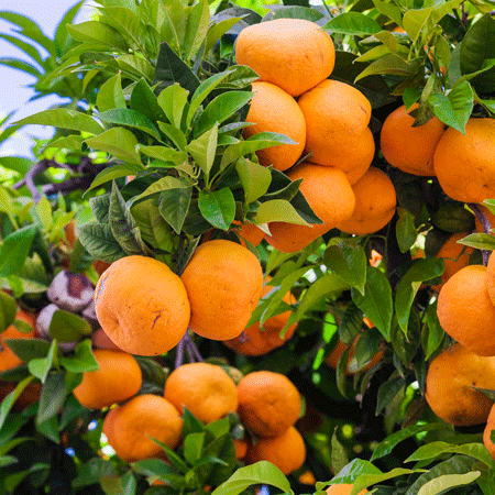 Murcott Honey Mandarin Tree