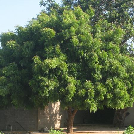 Neem Trees For Sale Fastgrowingtrees Com