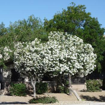 White Nerium Oleander Tree