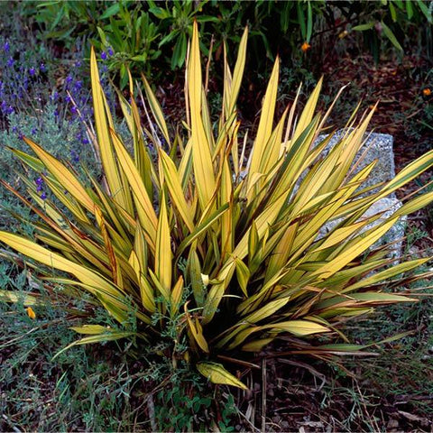 New Zealand Flax Plants For Sale Fastgrowingtrees Com