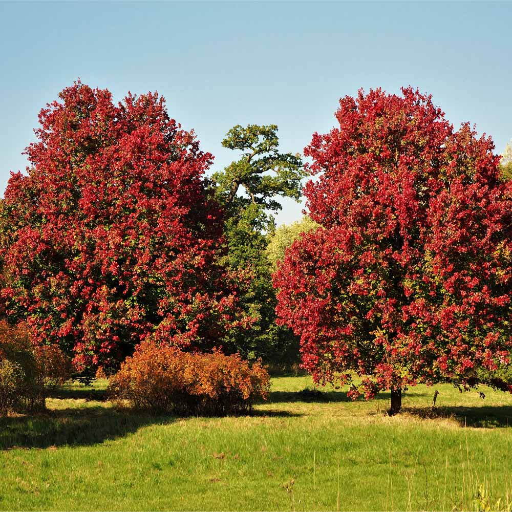 October Glory Red Maple Trees For Sale Fastgrowingtrees Com