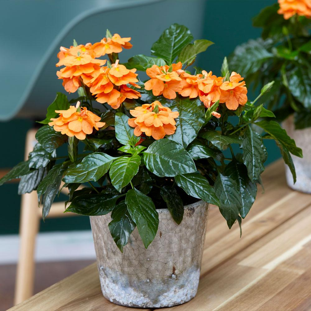 Orange Marmalade Crossandra Shrub