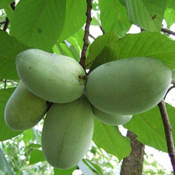 American Paw Paw Tree