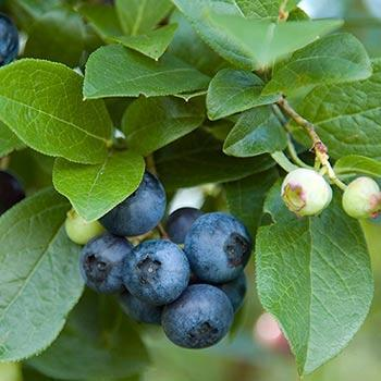 Aurora Blueberry Bush - USDA Organic