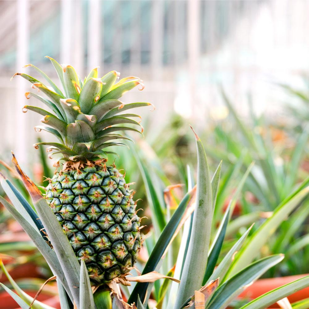 Sugarloaf Pineapple Plant
