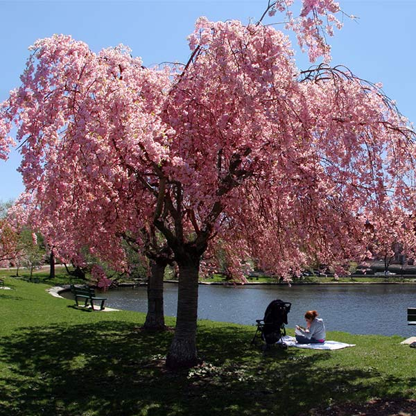 Pink Weeping Flowering Cherry Trees For Sale Fastgrowingtrees Com