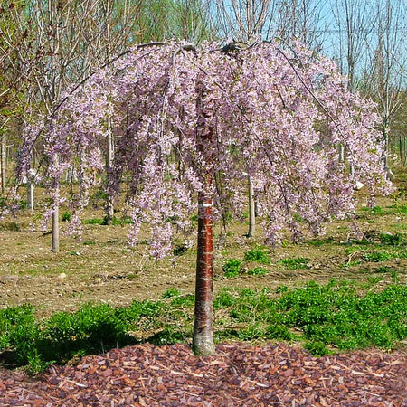 Pink Snow Showers™ Weeping Cherry Tree