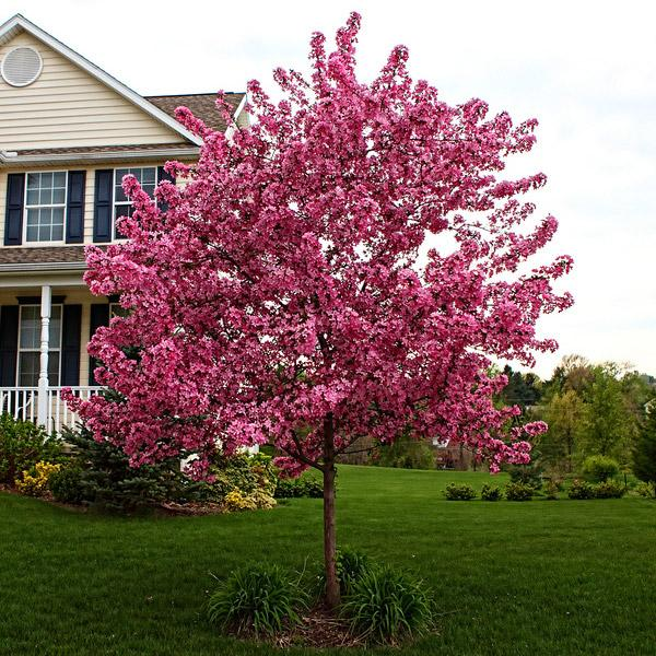 Prarifire Crabapple Trees for Sale – FastGrowingTrees.com