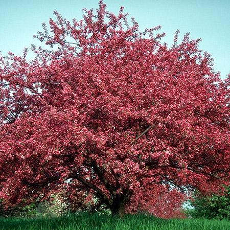 Profusion Crabapple Trees For Sale Fastgrowingtrees Com