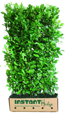 InstantHedge - Cherry (English) Laurel