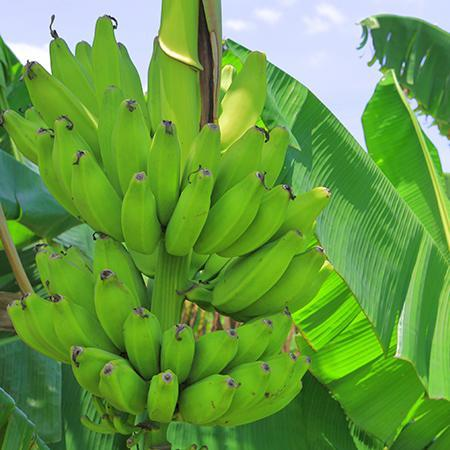 Puerto Rican Plantain Banana Tree